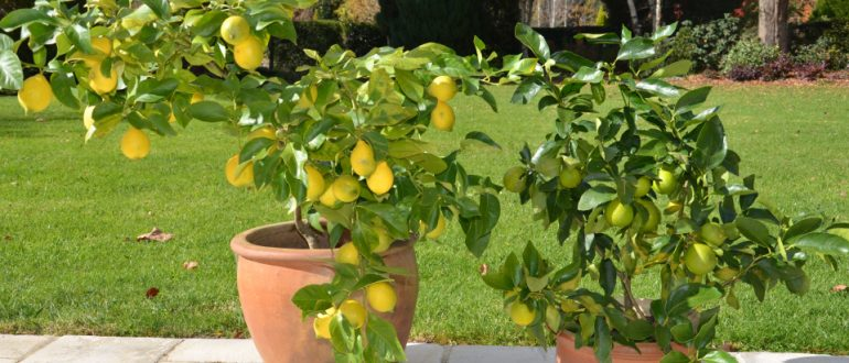 Look after lemon tree my productive backyard learn to for Growing a lemon tree in a pot from seed