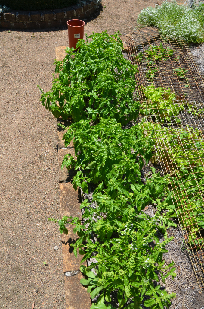fresh organic basil leaves growing basil plants summer herbs and vegetables