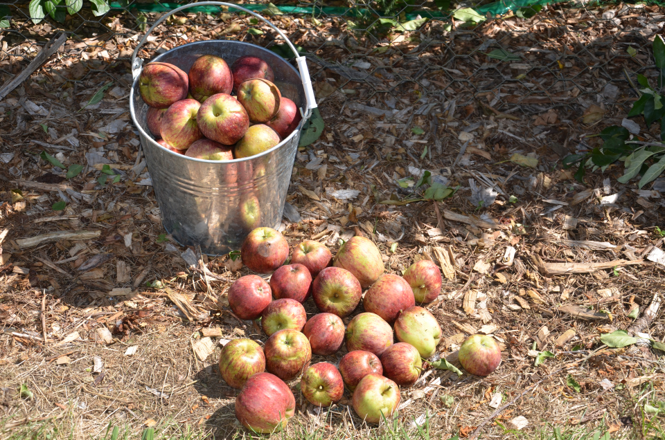 Lovely crisp organic apples YUM!
