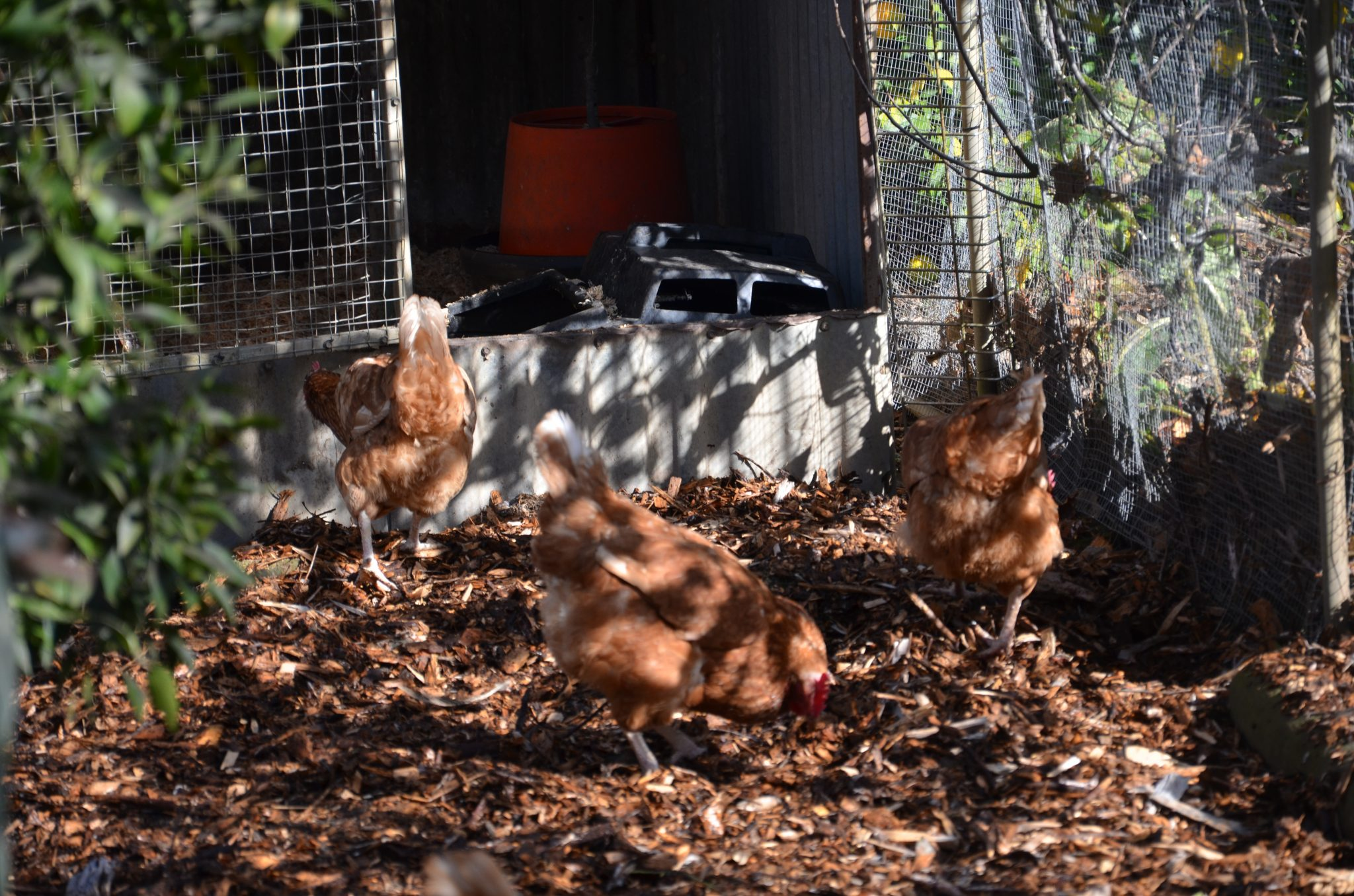 grow your own food my productive backyard diy gardening garden southern highlands wildes meadow burrawang robertson garden consultant grow your own good food chooks chickens chicken handling manual