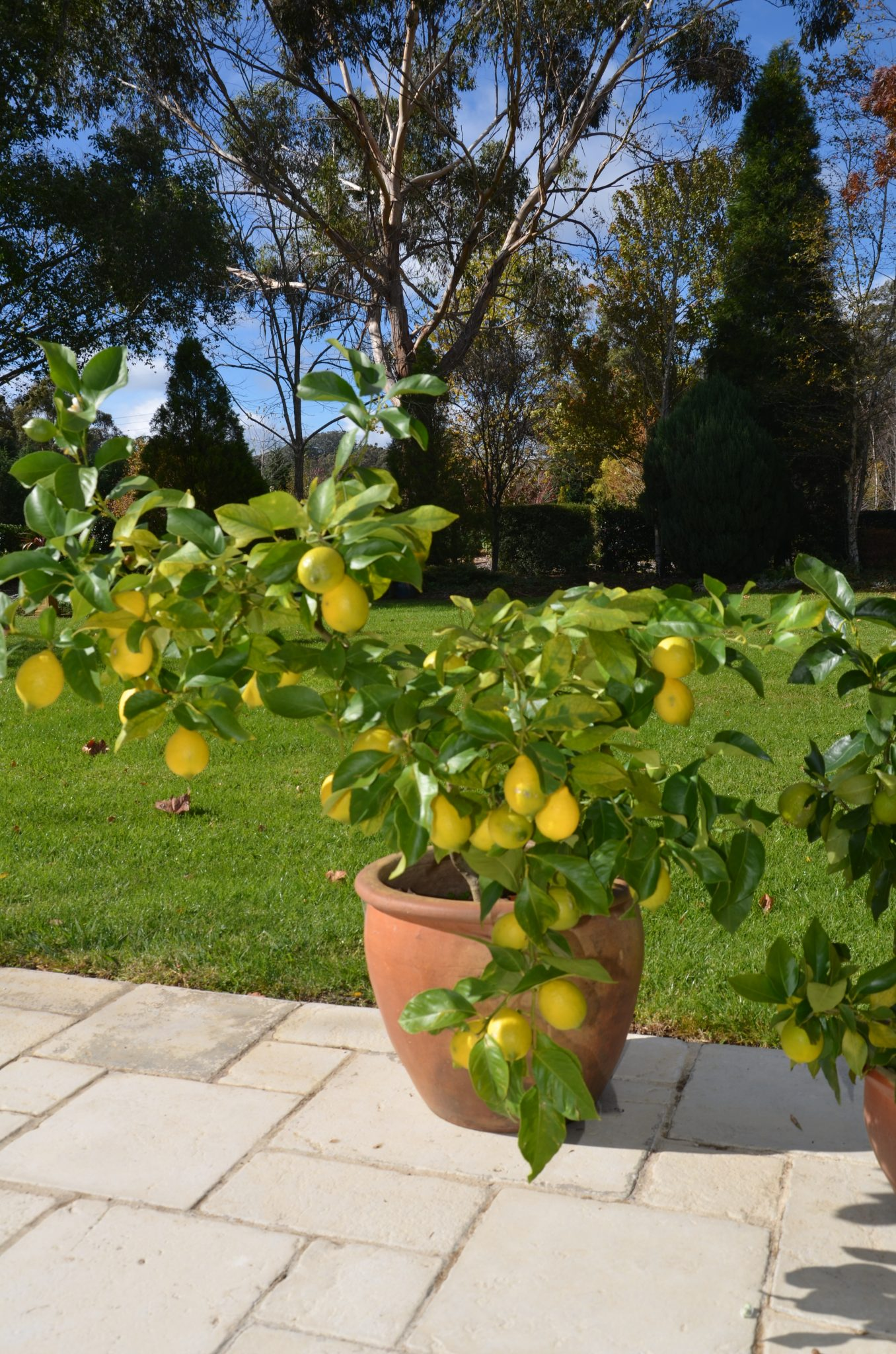 eureka lemon how to grow eureka lemon how to grow citrus in pots container gardening southern highlands new south wales