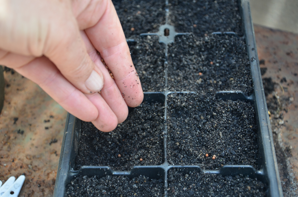 sowing broccoli seeds preparing for spring and summer plantings grow your own seedlings