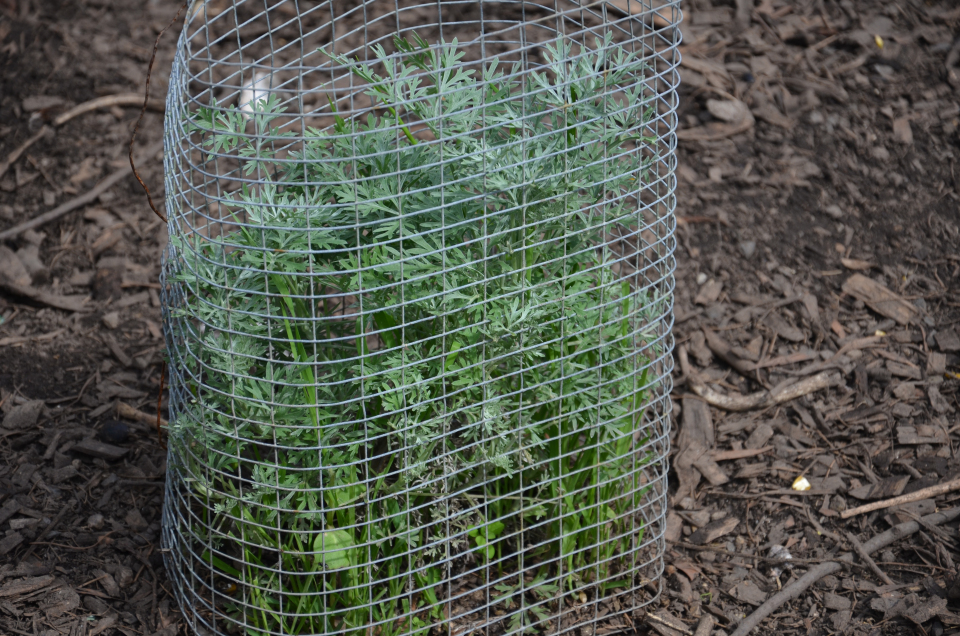 wormwood planted in a wire cage