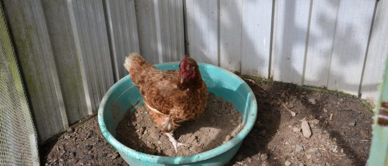 grow your own food my productive backyard diy gardening garden southern highlands wildes meadow burrawang robertson garden consultant grow your own good food growing chooks chickens dust baths