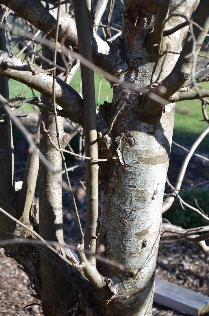 Ver verticl vigorous shoots on trees are called water shoots